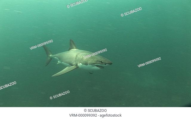 Great white shark Carcharodon carcharius swimming near the seabed
