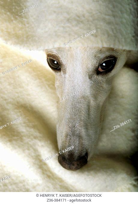 Polish Hound with blanket