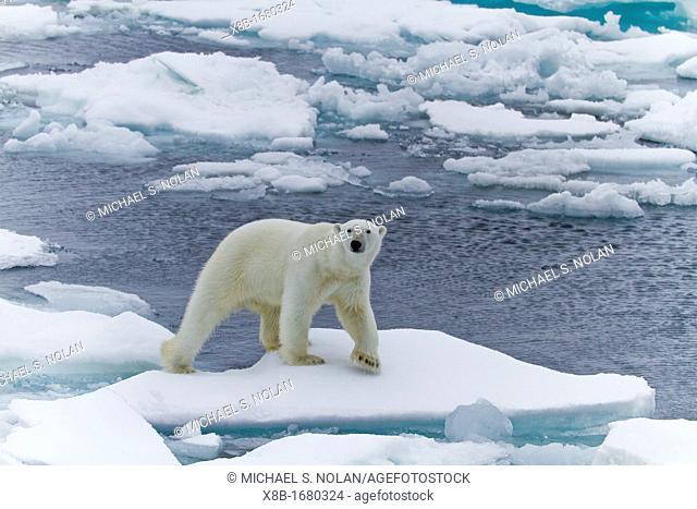 Adult male polar bear Ursus maritimus on multi-year ice floes in Franz Josef Land, Russia, Arctic Ocean
