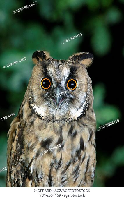 Long-Eared Owl, asio otus, Adult standing on Branch, Normandy