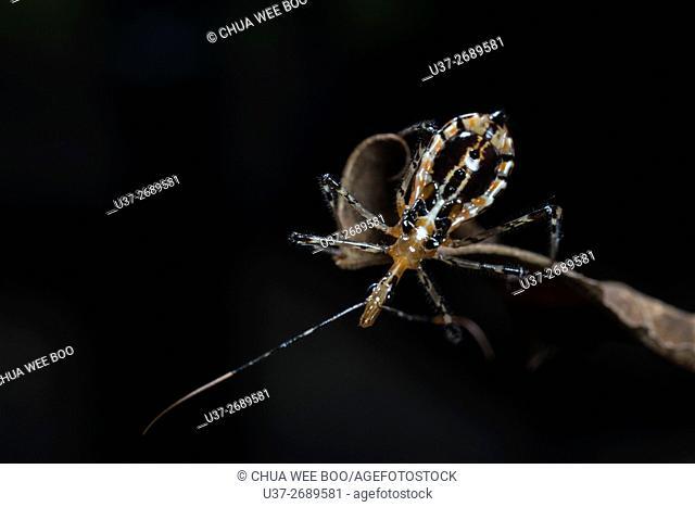 Assassin bug from Kampung Skudup, Sarawak, Malaysia