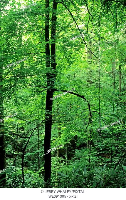 Spring Foliage, Great Smoky Mtns National Park, TN, USA