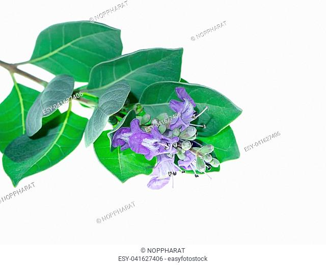 Close up of Vitex trifolia plant on white background