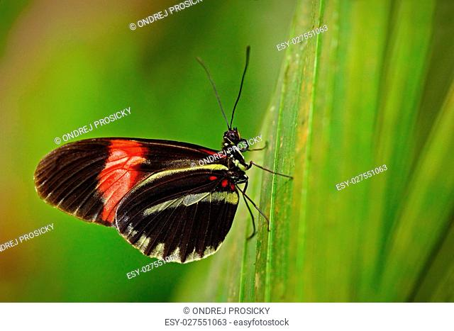 Butterfly Heliconius melpomene