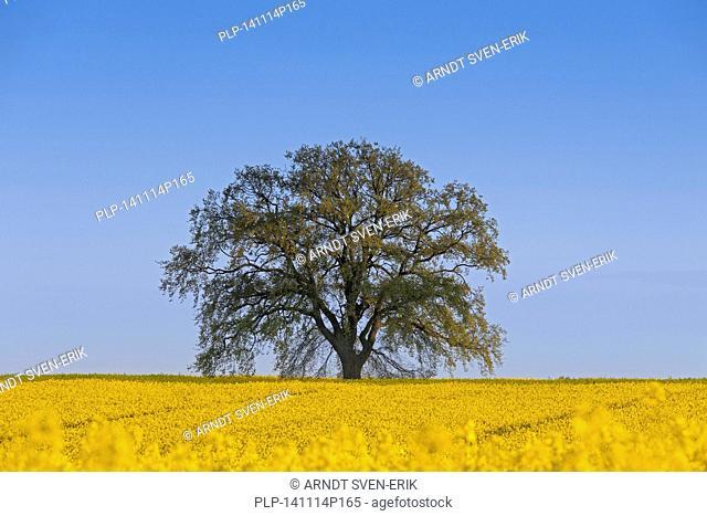 Farmland showing rape field (Brassica napus) in flower and English oak tree (Quercus robur) in spring