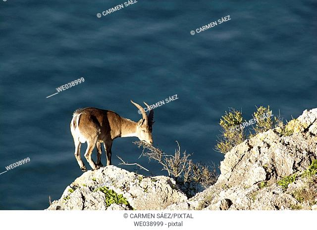 Male Spanish Ibex (Capra pyrenaica)