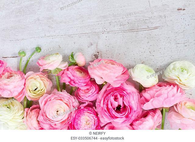 Pink and white fresh ranunculus flowers on white wooden desktop border