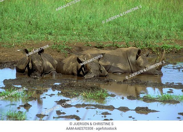 White Rhinos in Mud Wallow (Ceratotherium simum), Hluhluwe NP, S. Africa