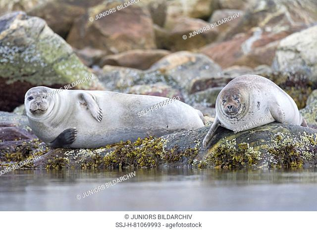 Harbour Seal (Phoca vitulina). Two adults resting on rocks at the shore. Svalbard, Norway