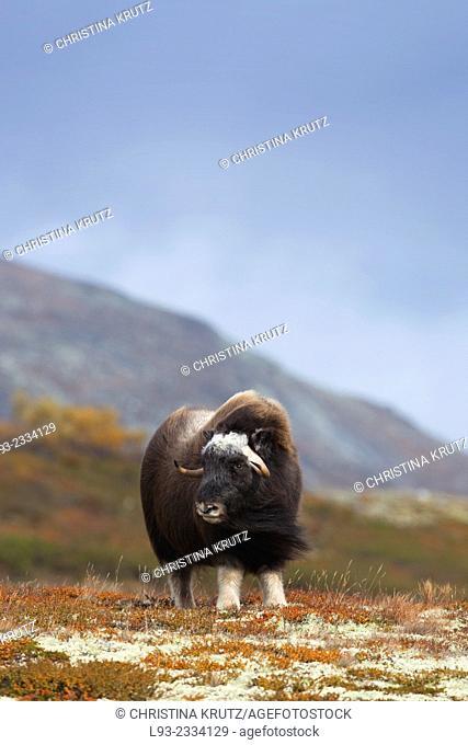 Muskox (Ovibos moschatus), Dovrefjell Sunndalsfjella National Park, Norway