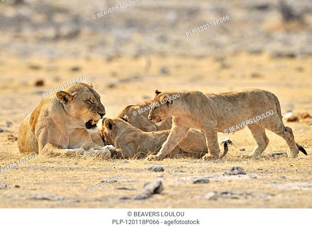 African lioness Panthera leo with cubs, Etosha National Park, Namibia