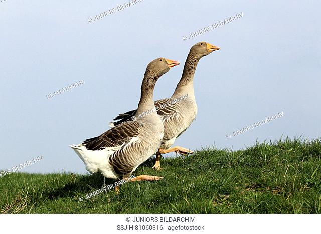 Domestic goose. Couple walking on a meadow. Germany