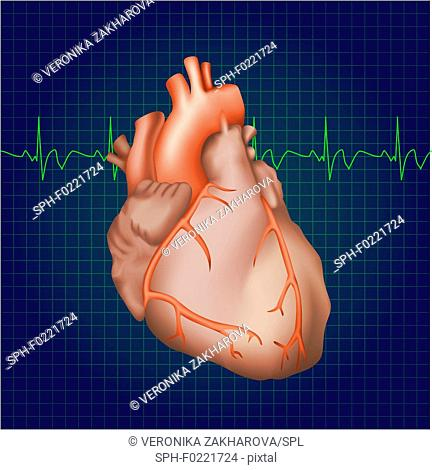 Healthy human heart, illustration