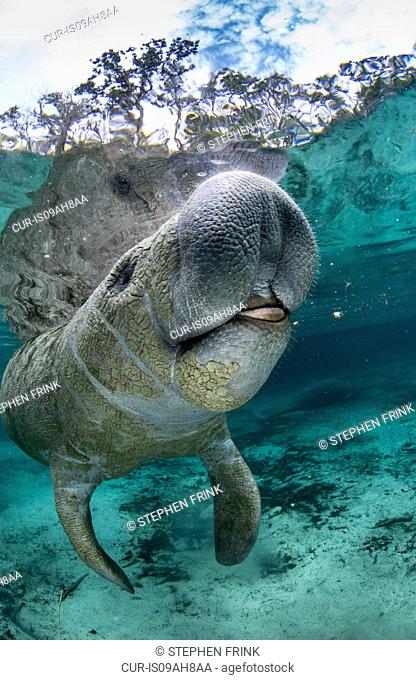 Manatee at the surface