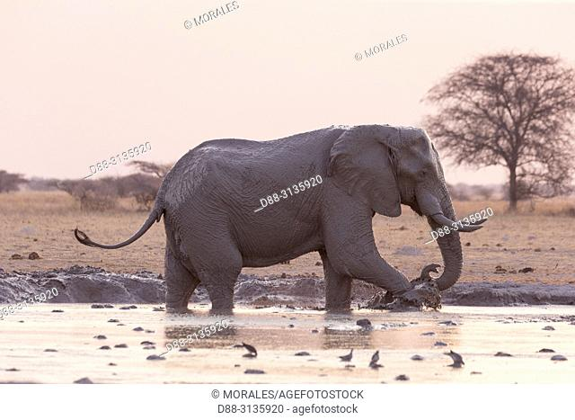 Africa, Southern Africa, Bostwana, Nxai pan national park, . African bush elephant or African savanna elephant (Loxodonta africana), around a water hole
