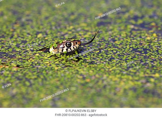 Grass Snake (Natrix natrix) adult, flicking forked tongue, swimming in water amongst duckweed, Arne, Dorset, England, May