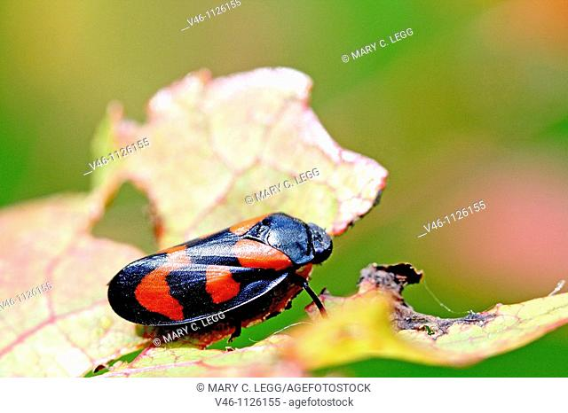 Red and Black Froghopper, Cercopis vulnerata  The nymphs create spittle which make them notorious as spitbugs, The endanger cash crops such as sugarcane