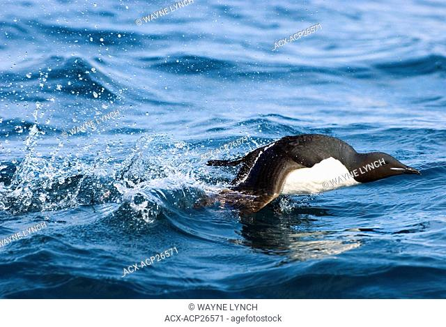 Adult thick-billed murre Uria lomvia taking off from the surface of the sea near its nesting cliff, Svalbard Archipelago, Arctic Norway
