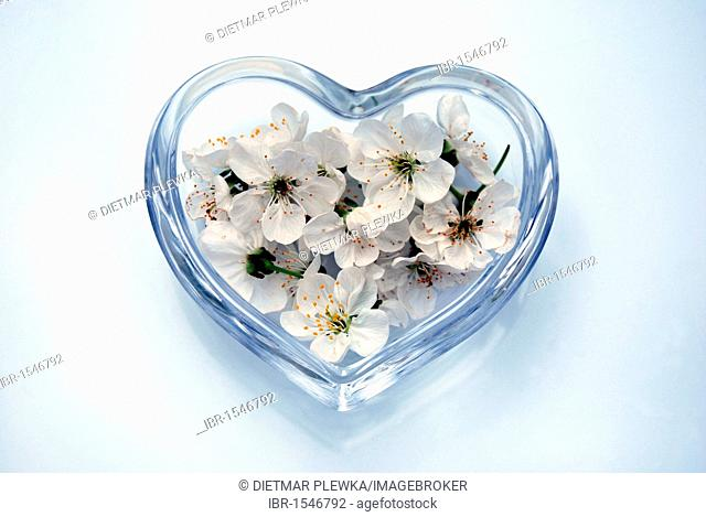 Sweet cherry blossoms (Prunus avium) in a heart-shaped glass bowl