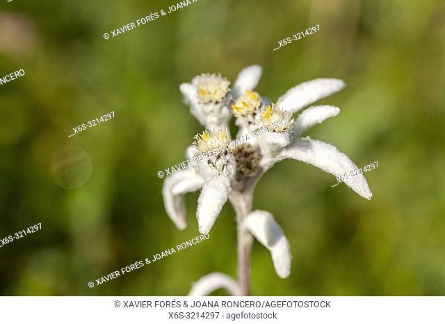 Edelweiss - Leontopodium alpinum -, Somport, Huesca, Spain
