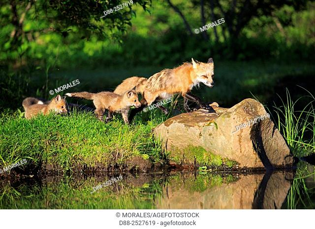 United States, Minnesota, Red Fox Vulpes vulpesadult near by the water with youngs