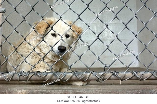 Australian Shepherd mix waits for a new home at the Coconino Humane Shelter in Flagstaff, Arizona. 2007