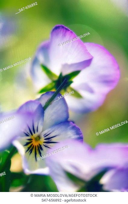 Pansy Flower Close-up. Viola x wittrockiana. May 2007, Maryland, USA