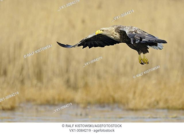 White tailed Eagle / Sea Eagle ( Haliaeetus albicilla ), adult bird of prey, flying over wetlands surrounded by golden reed, wildlife, Europe