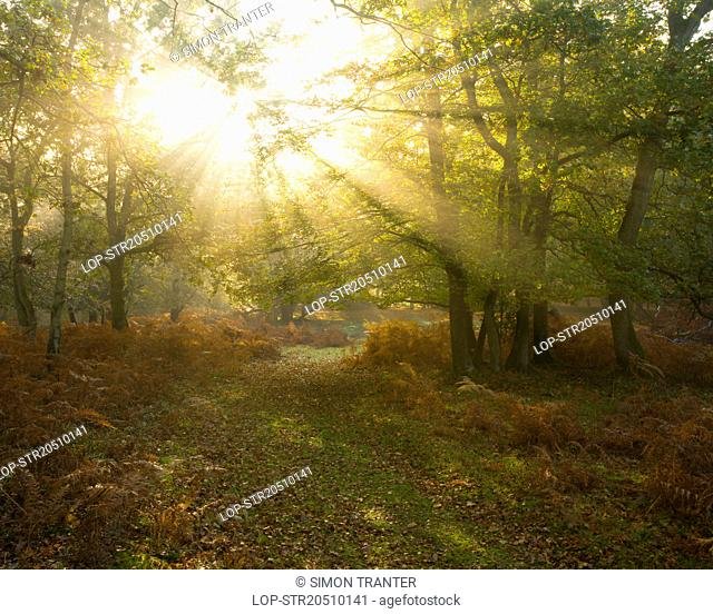 England, Hampshire, New Forest. Rays of sunlight through trees revealing autumnal colours in Mark Ash Wood