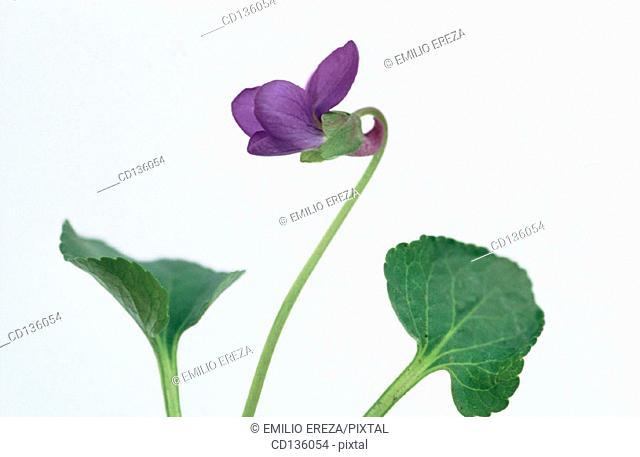 Sweet Violet (Viola odorata)