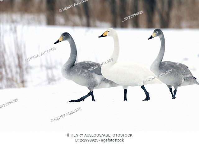 Whooper swan (Cygnus cygnus) young and adult, Japan