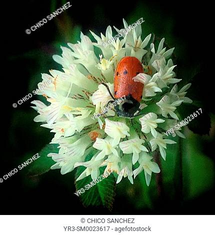 A ladybug perches on a white flower in Prado del Rey, Sierra de Cadiz, Andalusia, Spain