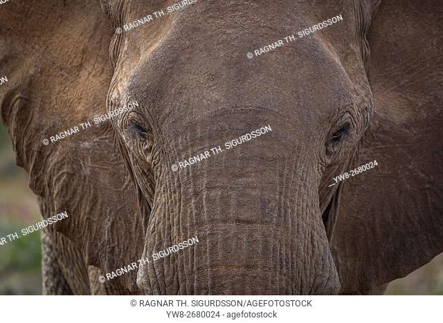 Close-up - African Elephant, Namibia, Africa