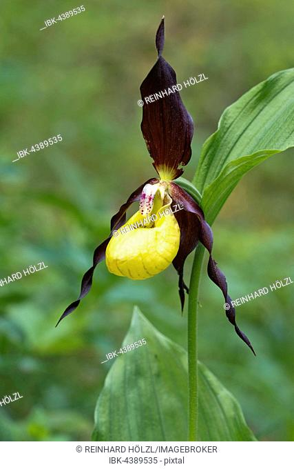 Lady's slipper orchid (Cypripedium calceolus), Kreuzteich, Tragöss, Styria, Austria