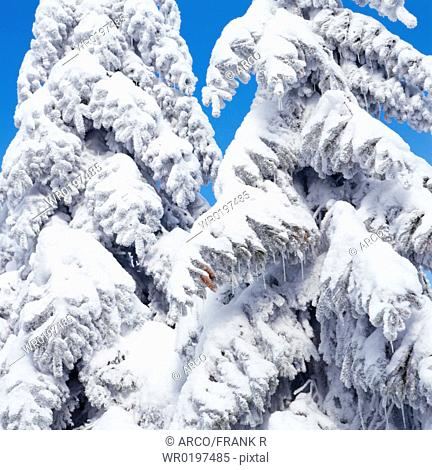 Snow, covered, coniferous, trees, Hornisgrinde, Black, Forest, Baden-Wurttemberg, Germany
