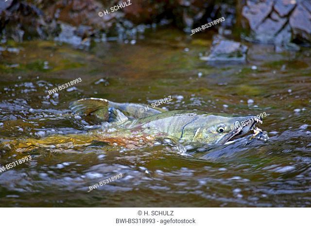 chum salmon (Oncorhynchus keta), fish salmon migration in Eagle River, USA, Alaska, Tongass National Forest