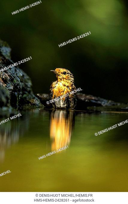 Hungary, Csongrad, Kiskunsagi National Park, Pusztaszer, european robin (Erithacus rubecula), bathing
