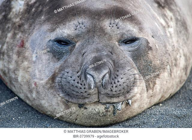 Southern Elephant Seal (Mirounga leonina), young male, Gold Harbour, South Georgia and the South Sandwich Islands, Antarktis