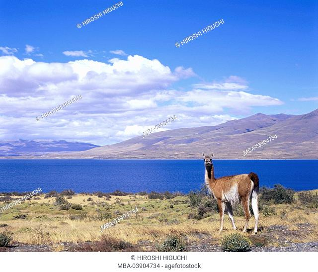 Chile, Patagonia, Torres Del Paine national-park, Guanako, llama guanacoe, South America, Latin America, destination, sight, nature, landscape