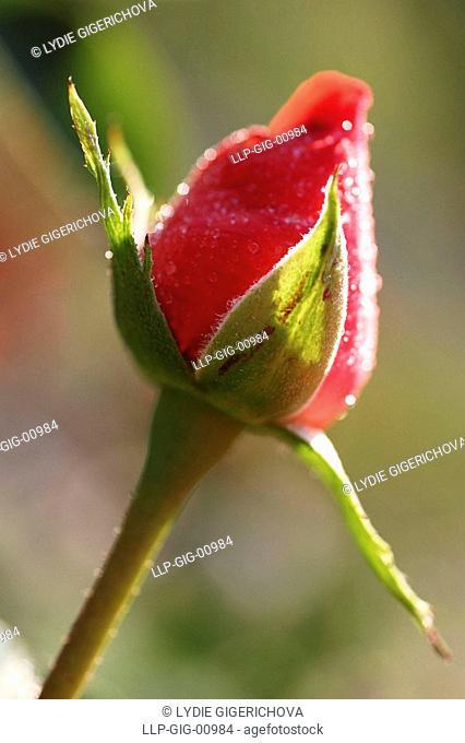Detail of rose, Bud