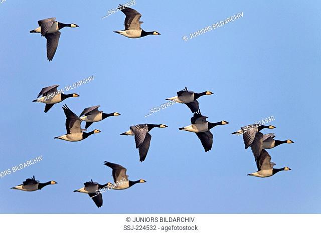 Barnacle Goose (Branta leucopsis). Flock in flight. Germany