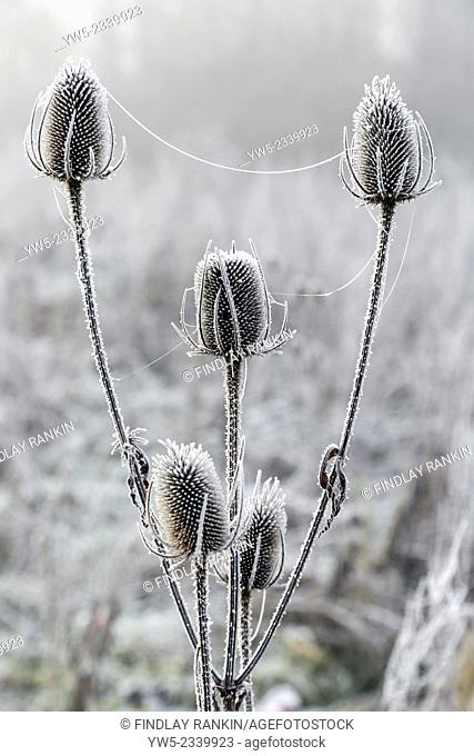 Hoar frost on grass and teasle heads, winter, Scotland, UK