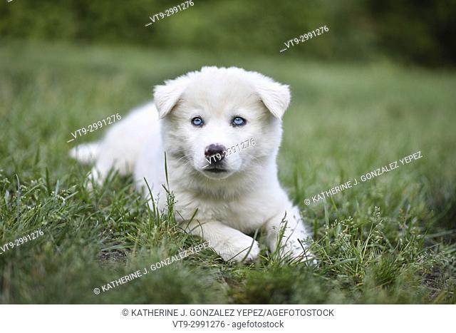 Portrait of white puppy laying on grass