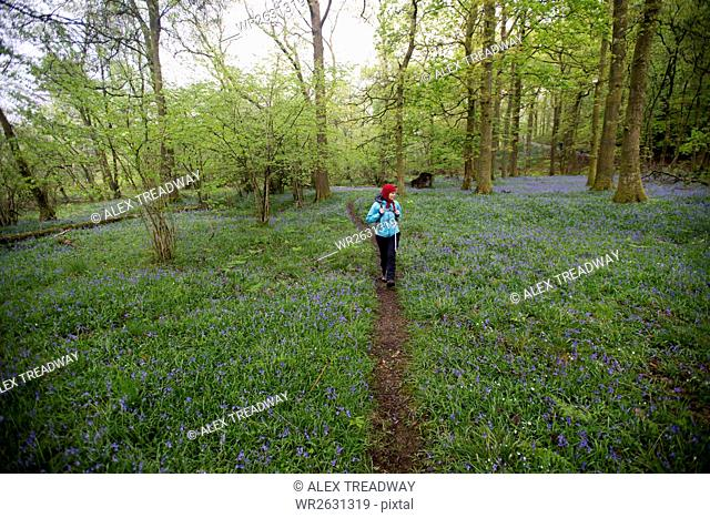 A woman walks through a forest surrounded by bluebells near Grasmere, Lake District, Cumbria, England, United Kingdom, Europe