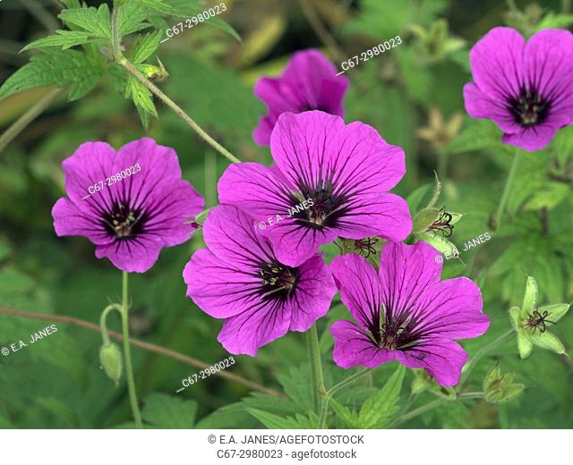 "Geranium """" Patricia"""" in mixed herbaceous border"