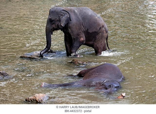 Asian elephants (Elephas maximus), bathing in Maha Oya River, Pinnawala Elephant Orphanage, Central Province, Sri Lanka