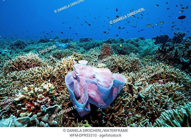 Pink Sponge in Coral Reef, Porifera, Kai Islands, Moluccas, Indonesia