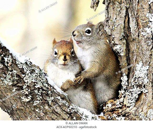 Two red squirrels caught in an imitate encounter during mating season along the Vermilion River in Northern Ontario, Canada