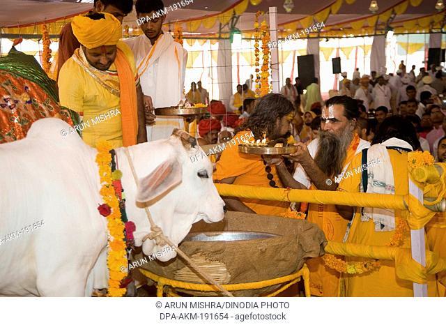 Holy cow pathmeda godham rajasthan