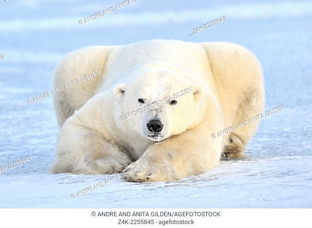Polar bear (Ursus maritimus) lying on pack-ice